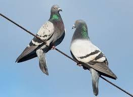 Pombos Controle da praga
